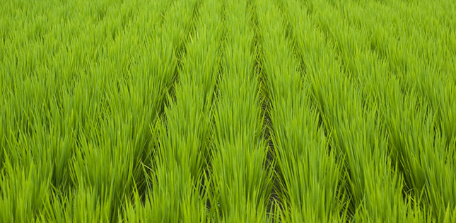 Plasma protection for rice crops
