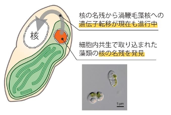 藻類の葉緑体が成立する途中段階を発見 | プレスリリース・研究成果 ...